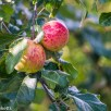Vivitar 135mm f/2.8 sample pictures - Apples