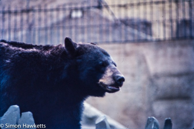 35mm colour slide pictures from London Zoo in the early 1980s - Great Bear