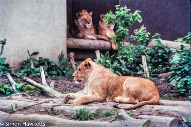 35mm colour slide pictures from London Zoo in the early 1980s - Lions