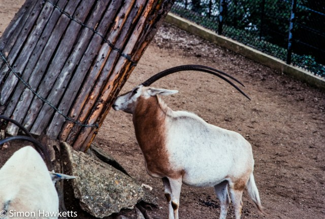 35mm colour slide pictures from London Zoo in the early 1980s - Gazelle?