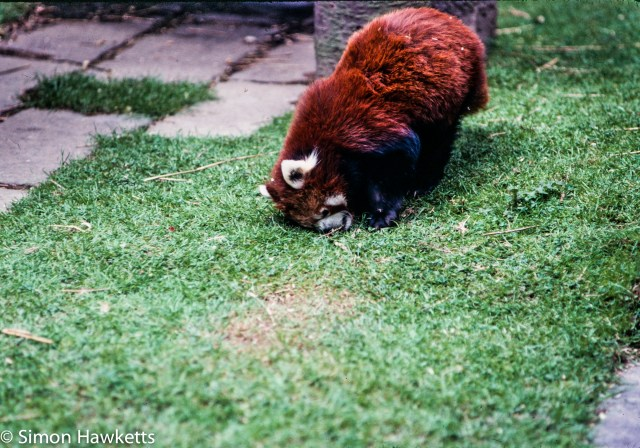 35mm colour slide pictures from London Zoo in the early 1980s - Red Panda?