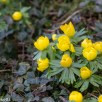 Pictures of Bennington Lordship - Winter Aconites