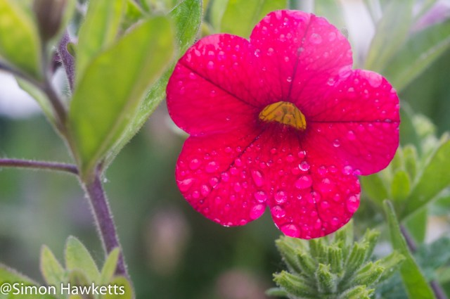 Steinheil Munchen Cassar S sample pictures - A macro shot of a red flower after rain