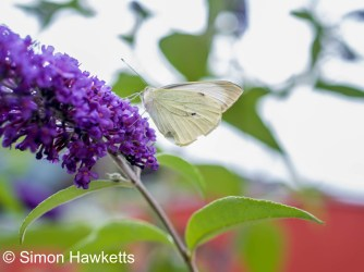 Ricoh GXR sample pictures - Butterfly