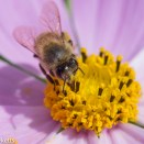 Macro photos - A small bee