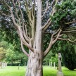 A tree in the graveyard of Chipping Campden church