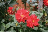 Flowers shot on film - Three reds