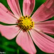 Pentax MZ-30 sample picture - Cosmos