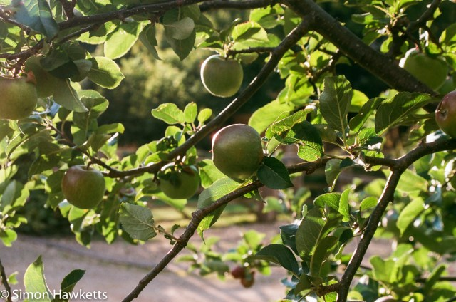 Pentax SFXn sample pictures - Apples