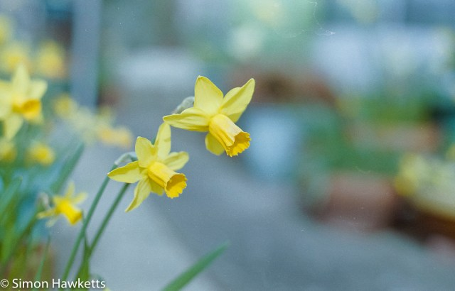 Pentax Super Program sample pictures - Twin Daffodils
