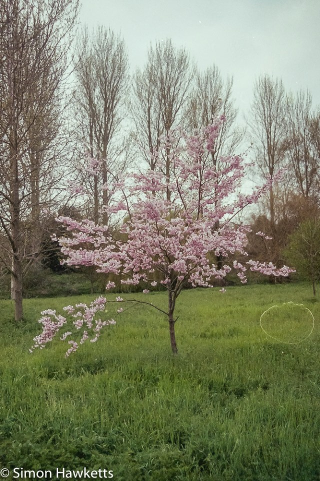 Pentax MZ-3 sample photographs - A tree with blossom but a large drying mark somewhat spoils this