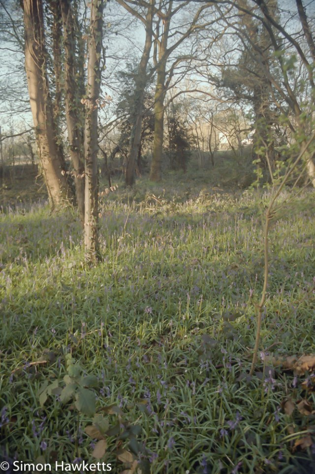 Pentax Z-20 sample pictures - bluebell woods but the bluebells aren't fully out yet