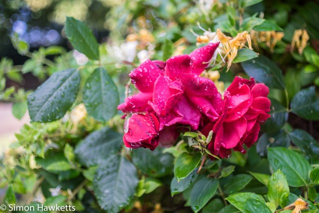 Sigma Mini-Wide on Fuji X-T1 sample pictures - close up image of rose