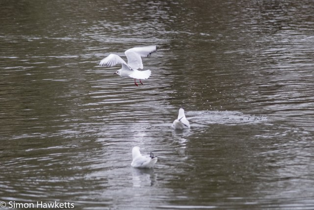 Vivitar 75 - 205mm  f/3.8 zoom  telephoto on Fuji X-T1 sample pictures - seagull