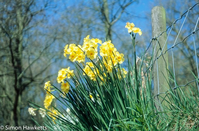 Pentax Z-1P & Agfa CT-100 slide film - Chatsworth house daffodils