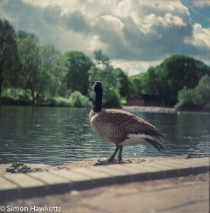Ciro-Flex TLR sample pictures - A goose at Fairlands Lake