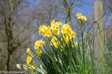 Chatsworth house pictures - daffodils