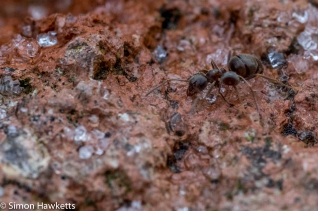 Fuji X-T1 macro experiments - Ant on brickwork