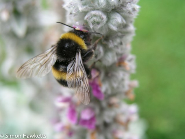 Olympus c-5050 macro picture - Bumble bee