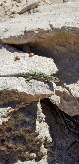 Lizard!