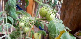 and tomatos too