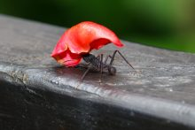 Strong Ant bringing home a flower petal