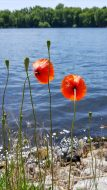 Poppies by the water