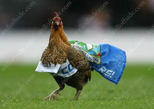 A chicken on the Ewood Park pitch in Blackburn