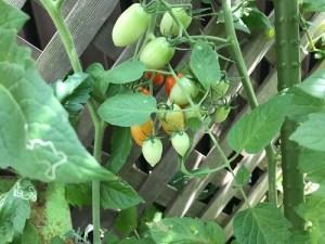 庭のアイコトマト