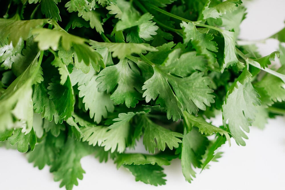 up close view of fresh cilantro.