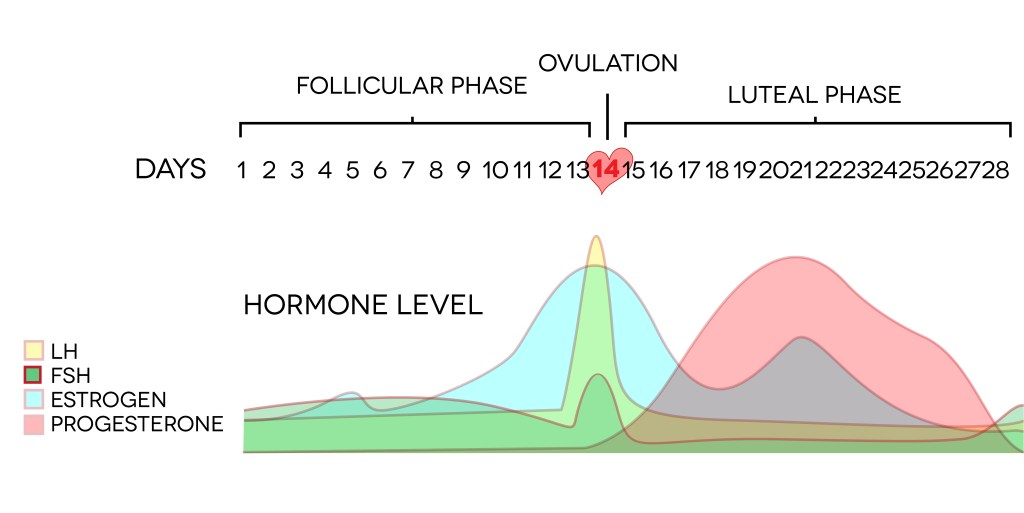 Menstrual cycle hormone changes