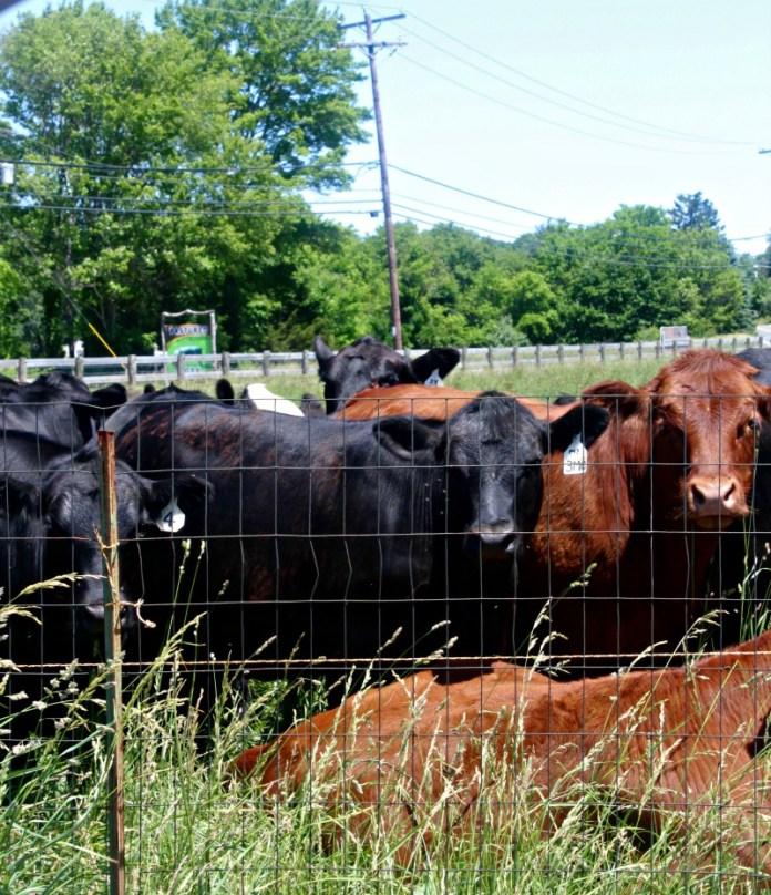 Grass Fed Cows SimpleandSavory.com
