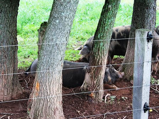 emale pigs2 Profeta Farms