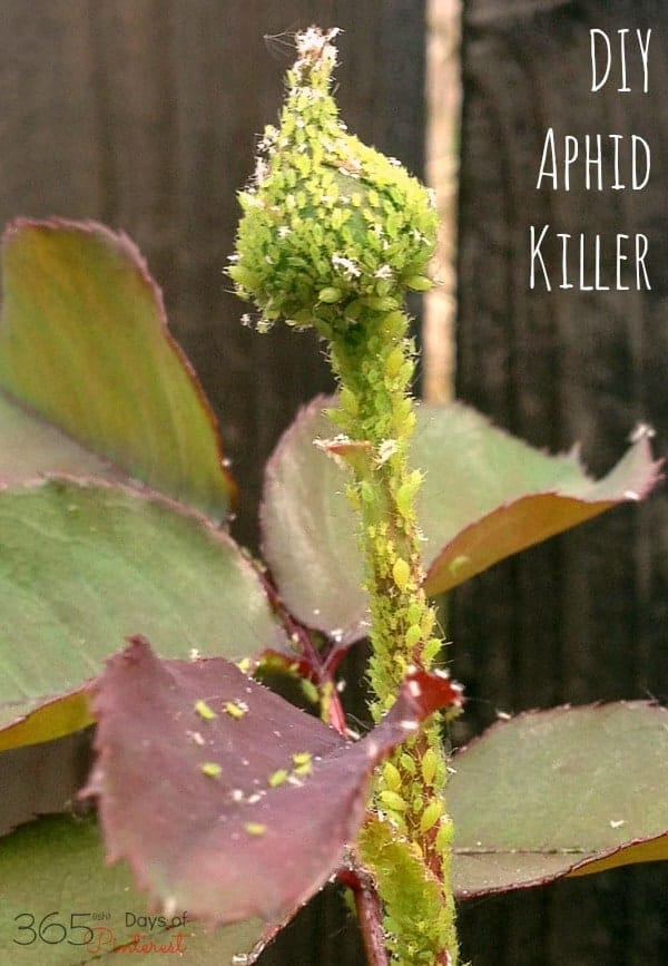 Yuck! Aphids destroying your roses? Mix up this DIY Aphid Killer and see results in just 24 hours! via @nmburk