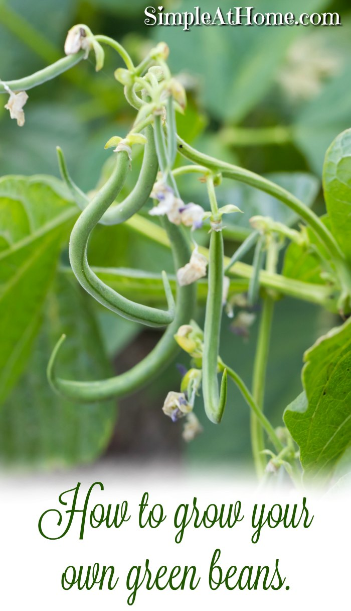 How to grow your own green beans