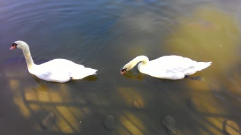 swans in a lake :)