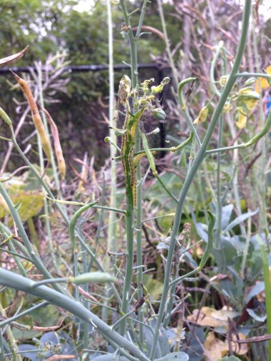 Caterpillars colonising broccoli