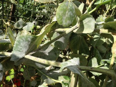 Here's a close-in view of the powdery mildew. This is inevitable in Sydney.