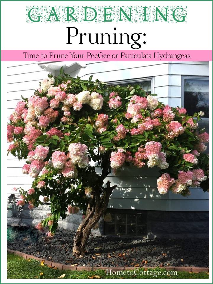 HometoCottage.com Gardening Pruning Time to Prune Your PeeGee or Paniculata Hydrangeas