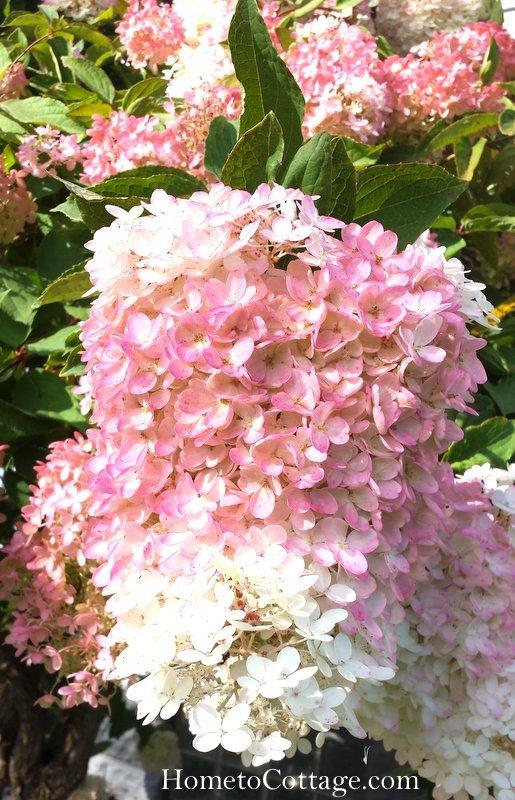 HometoCottage.com hydrangea flower close up