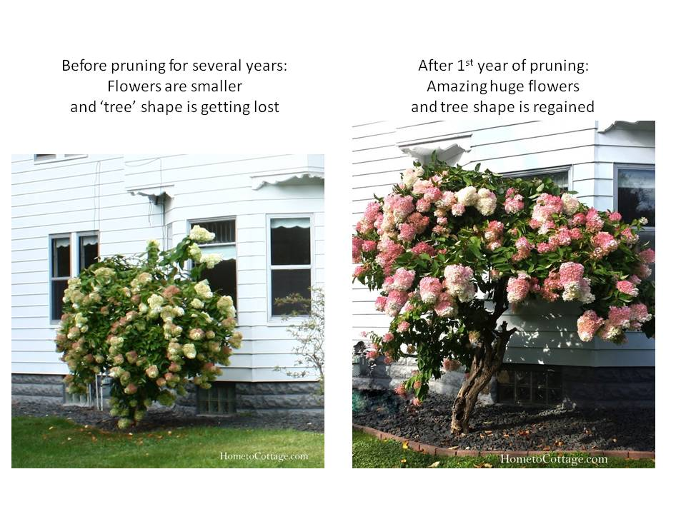 HometoCottage: before and after pruning difference