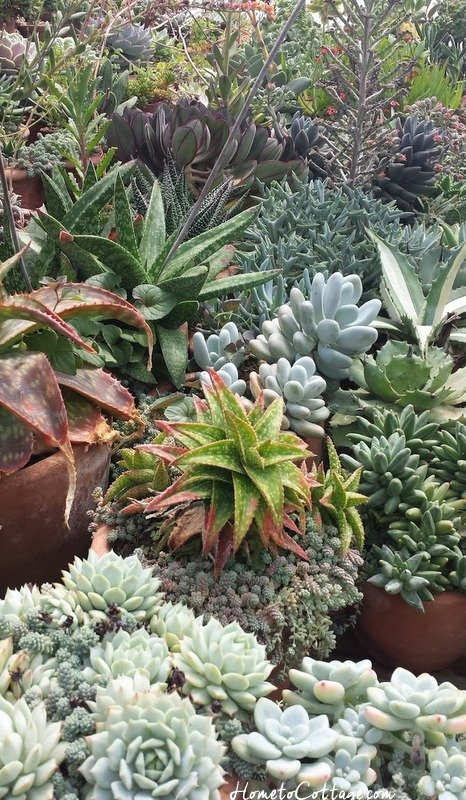 HometoCottage.com Snug Harbor Farm a sea of succulents
