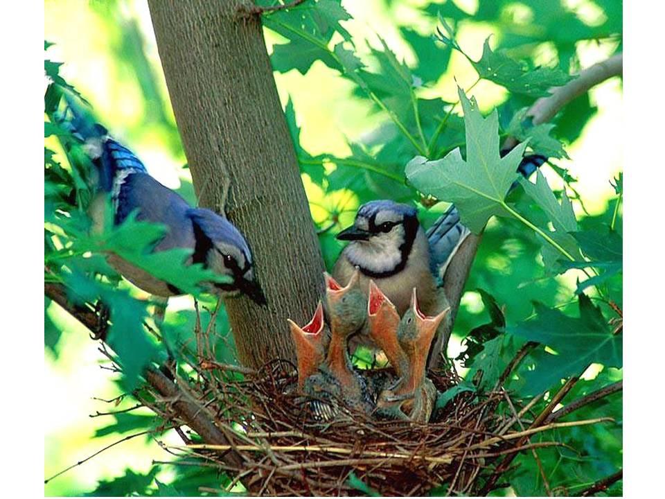 HometoCottage.com baby blue jays