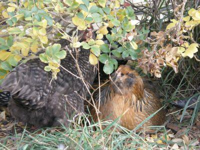 Then hens enjoying sitting under the rose bush.