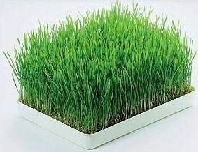 wheatgrass-tray