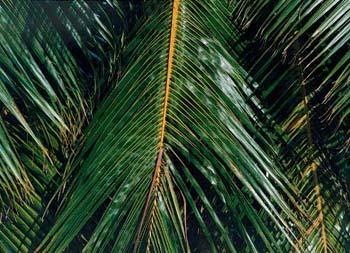 coconut_tree