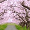 マツコの知らない桜の世界!今からでも間に合う絶景のお花見スポット