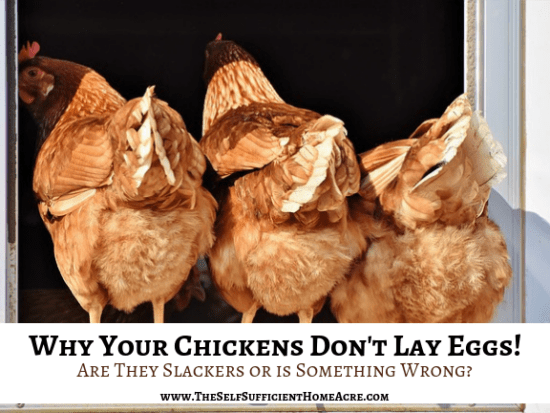 Hometead Blog Hop Feature - Why-Your-Chickens-Don't-Lay-Eggs