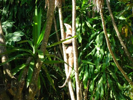 Photograph of an anteater working its way up the limbs of a Yucca Gloriosa tree.