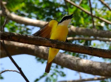 Photograph of a Great Kiskadee perched on a tree limb